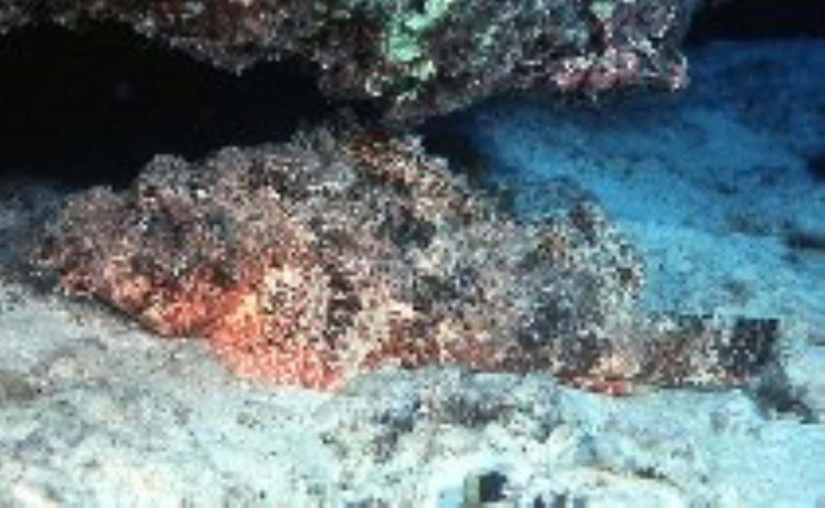 Jenkin's Scorpionfish