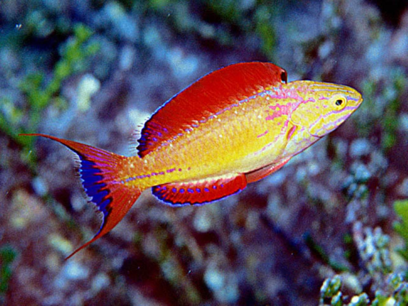 Johnson's Wrasse