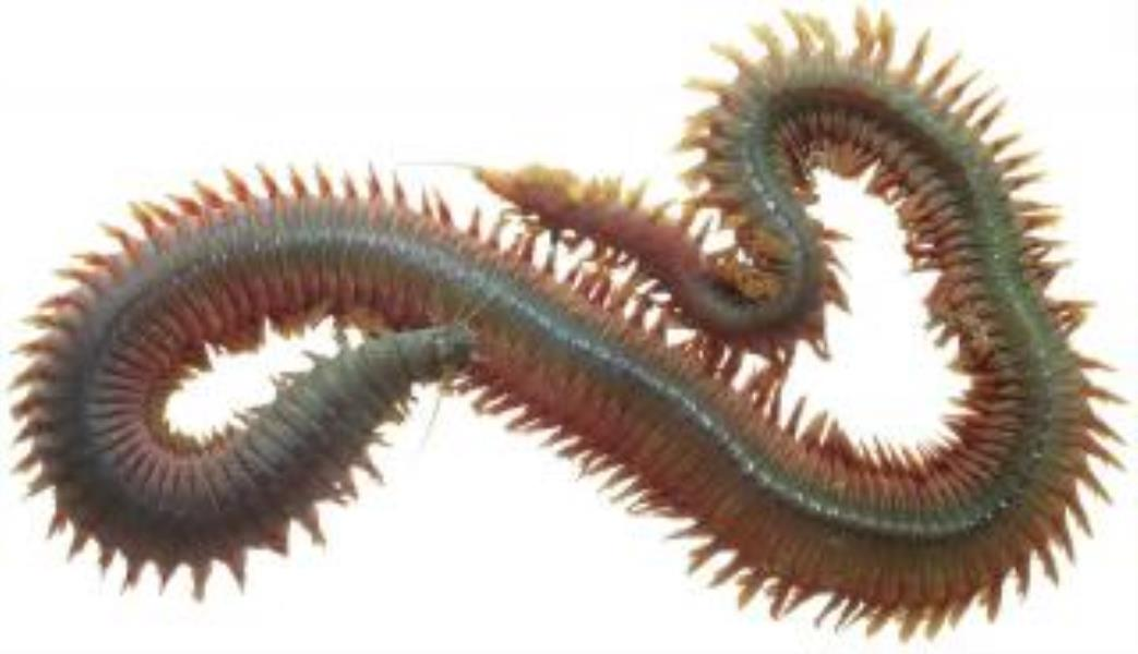 King Ragworm