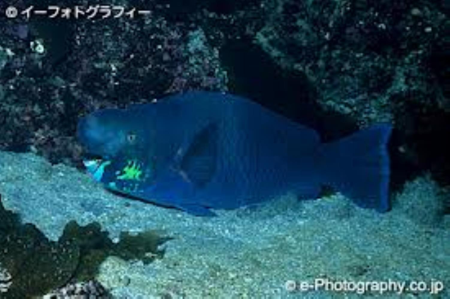 Knobsnout Parrotfish