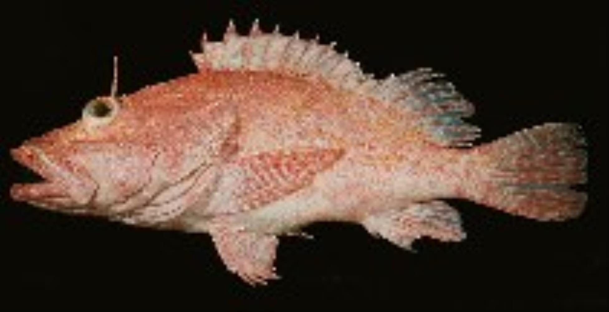 Large-headed Scorpionfish