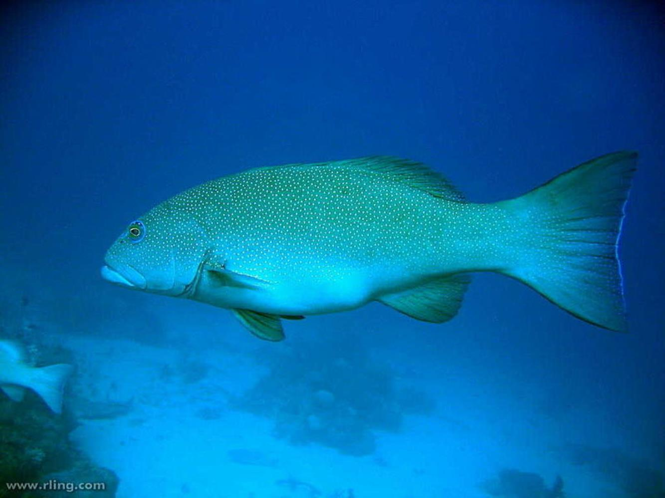 Leopard Coral Grouper (also Coral Trout)
