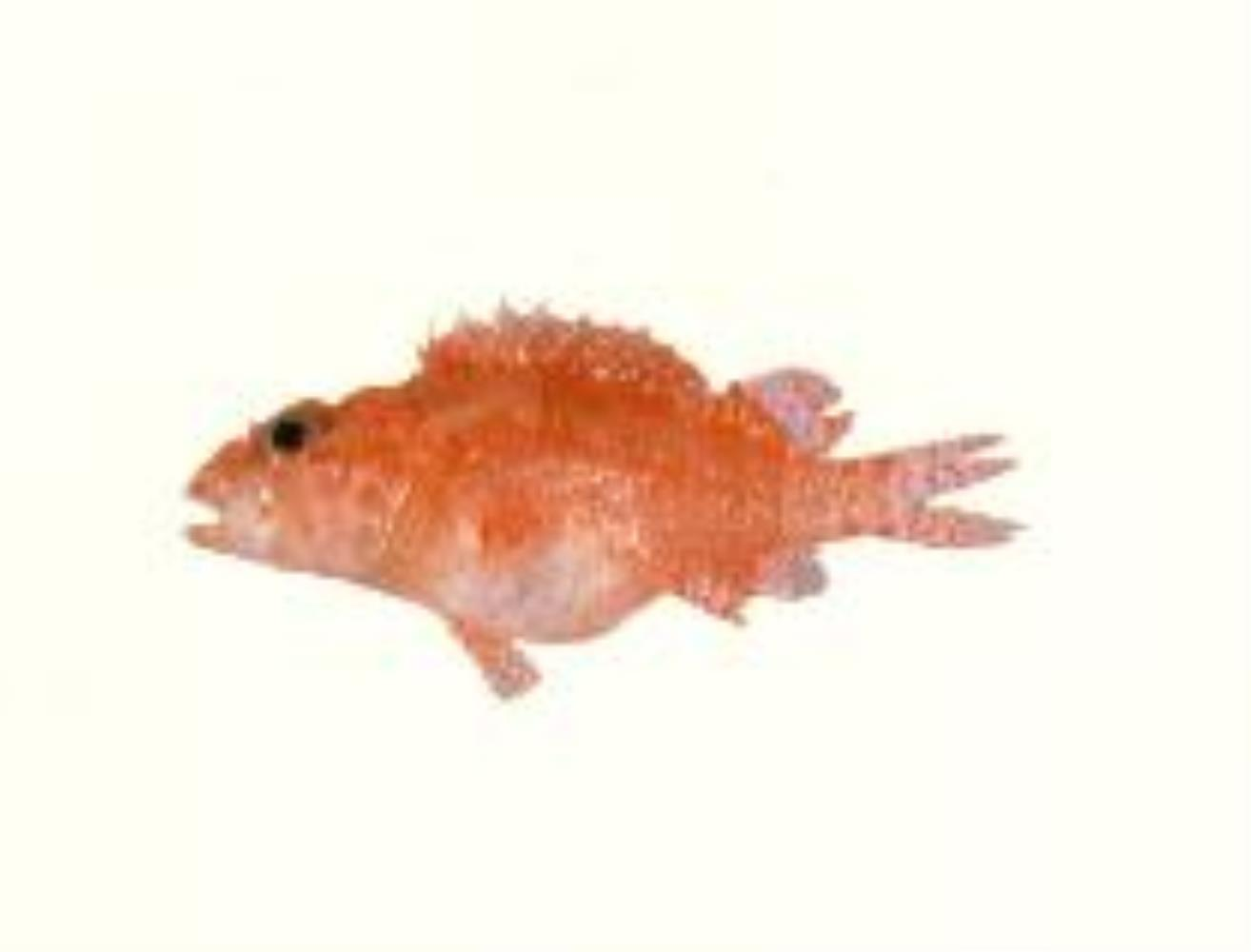 Little Scorpionfish