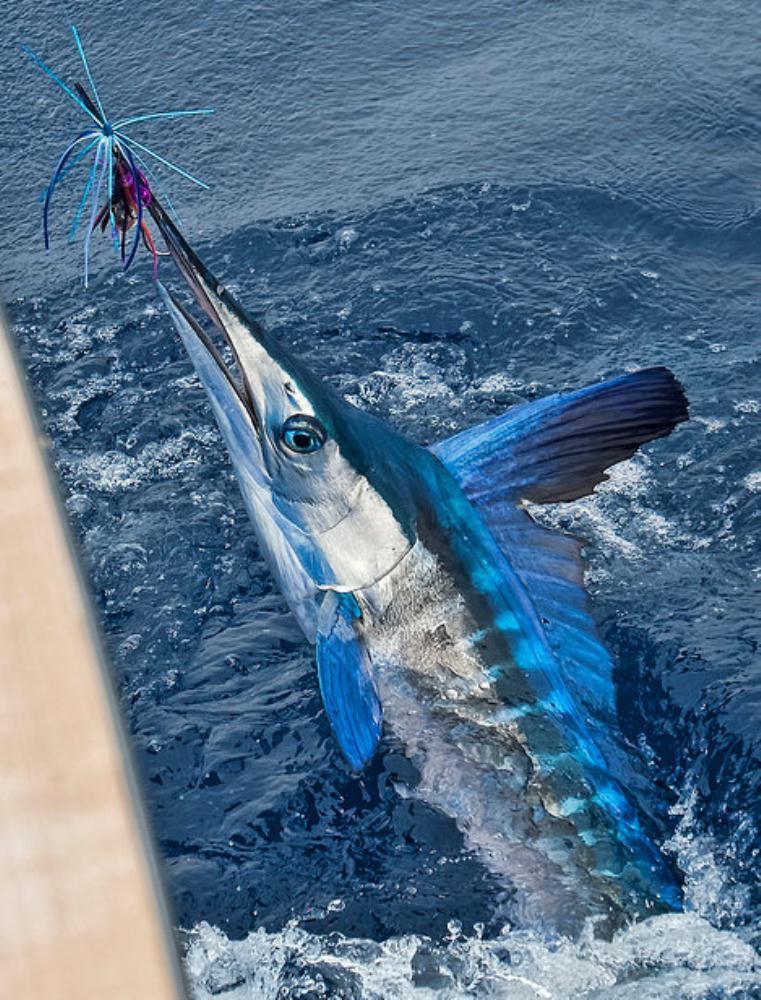Longbill Spearfish