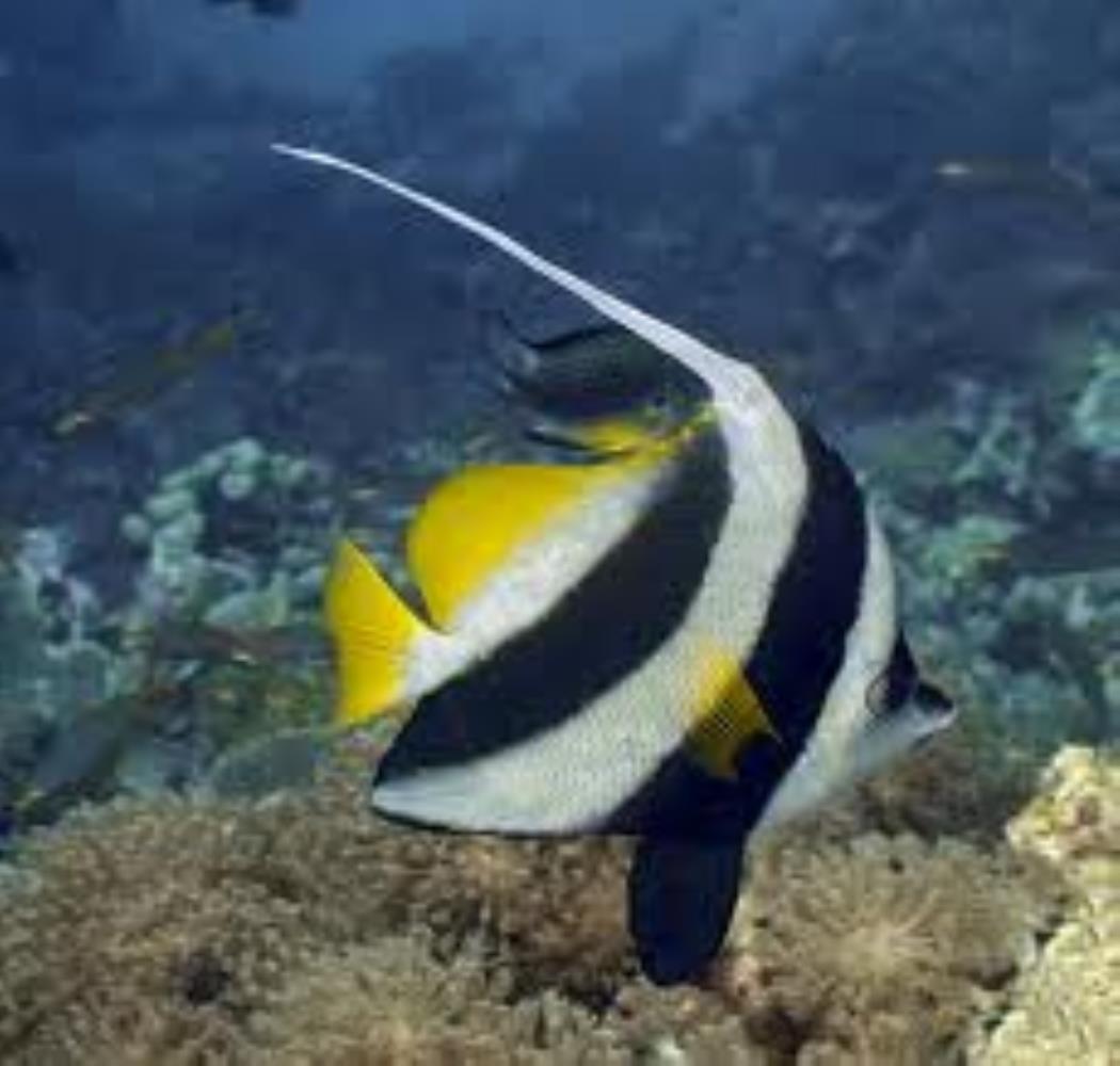 Longfin Bannerfish/Pennant Coralfish