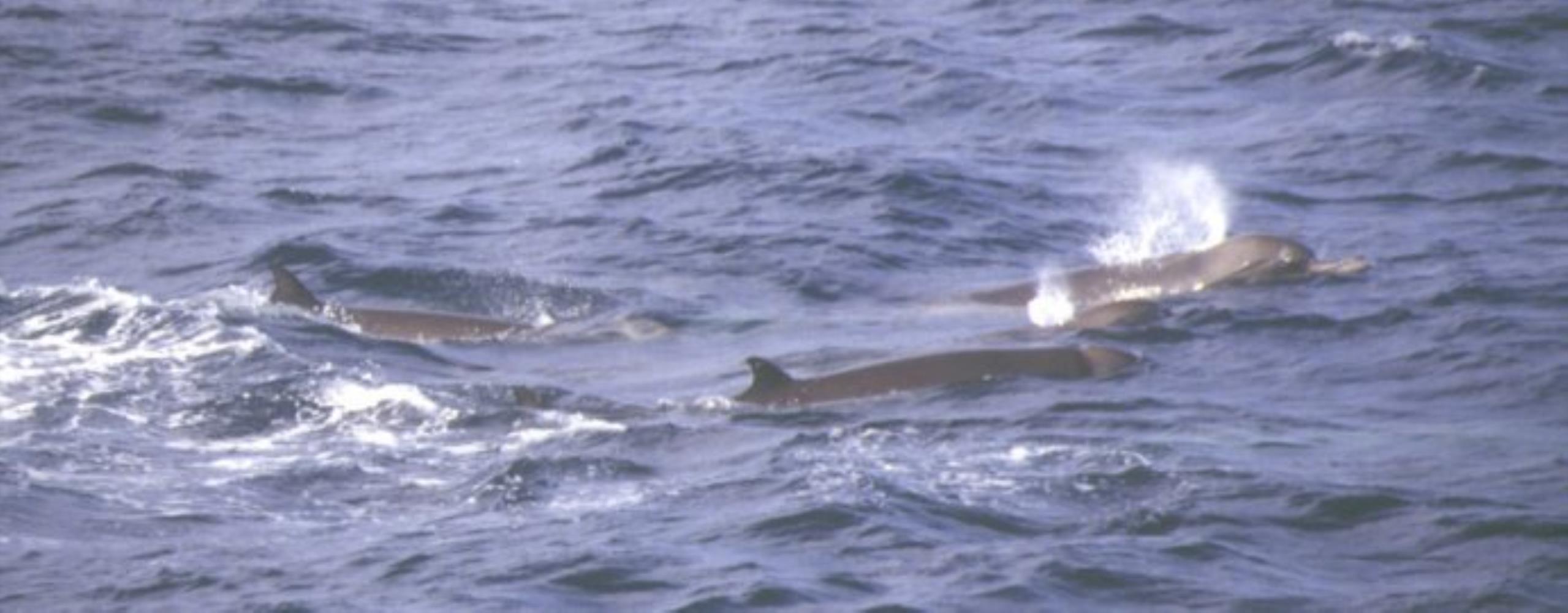 Longman's Beaked Whale
