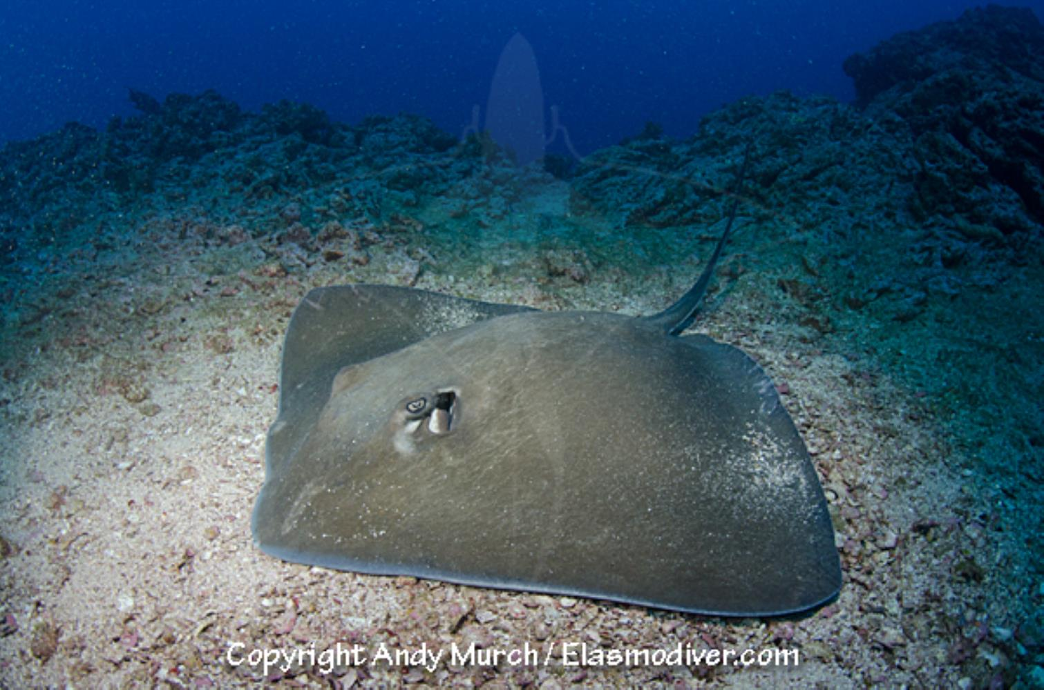 Longtail stingray