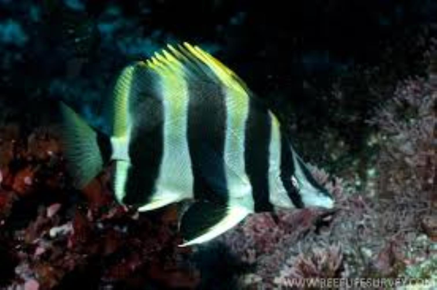Lord Howe Island Butterflyfish