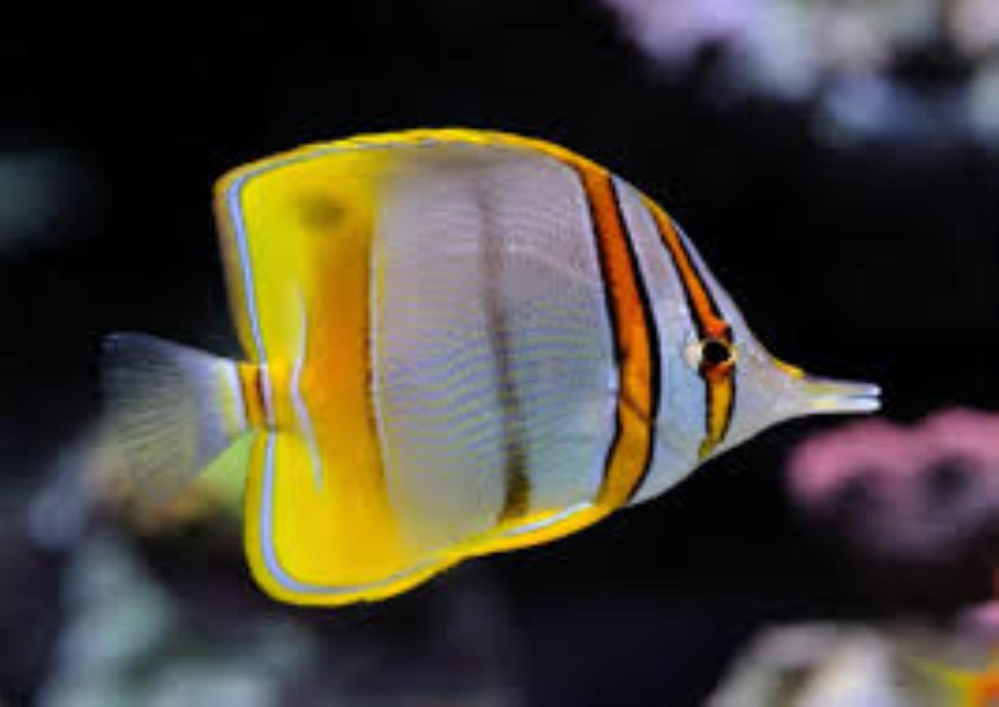 Margined Coralfish