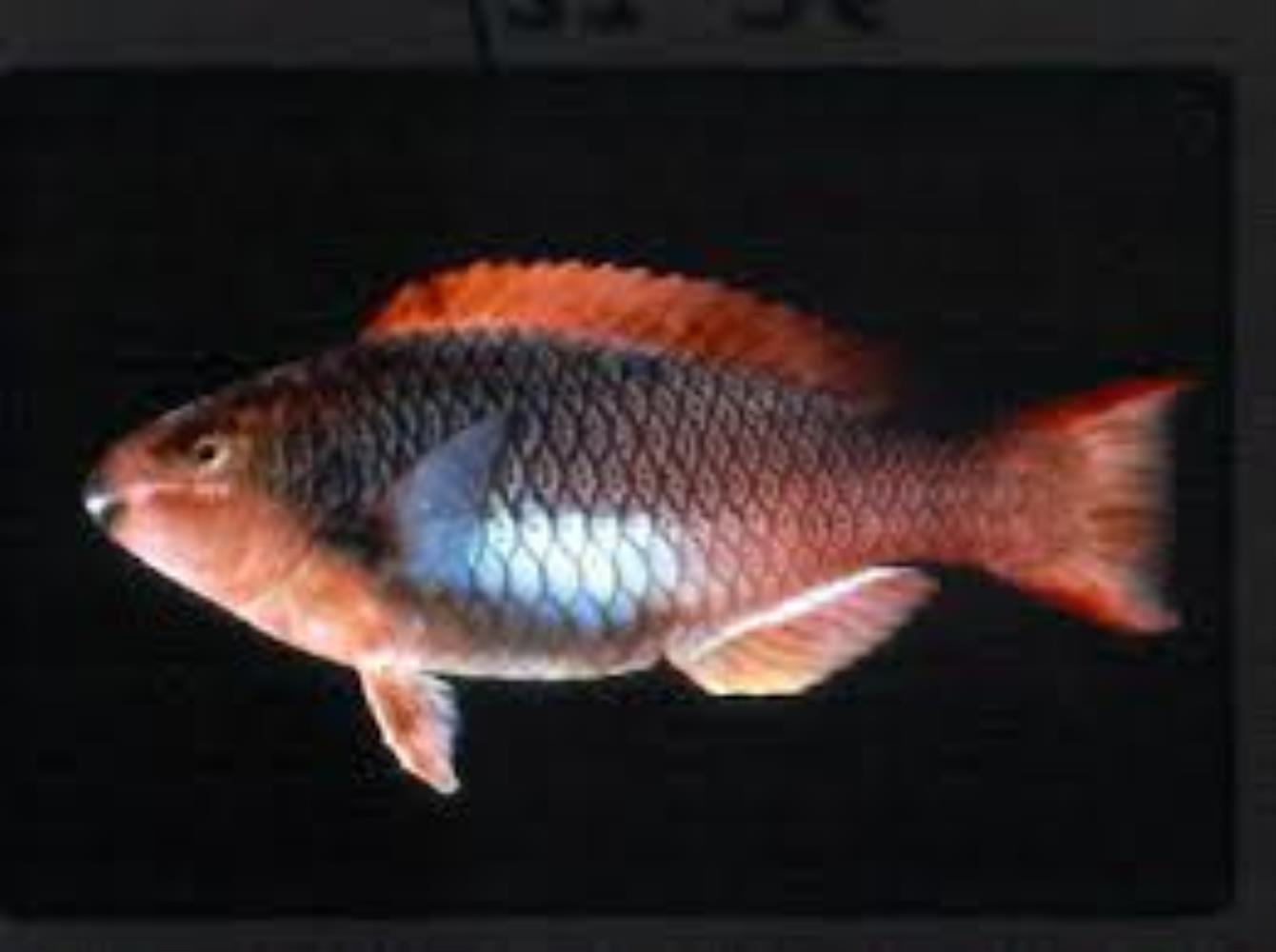Marquesan Parrotfish