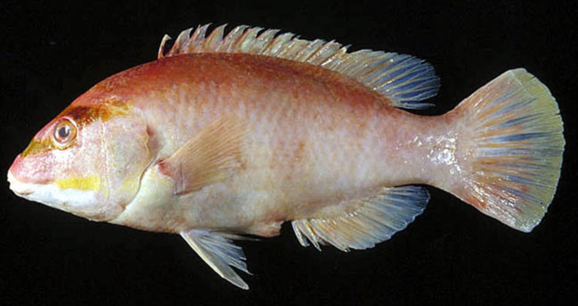 Masked Pigfish