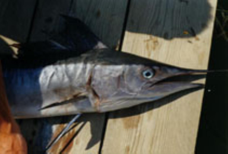 Mediterranean Spearfish