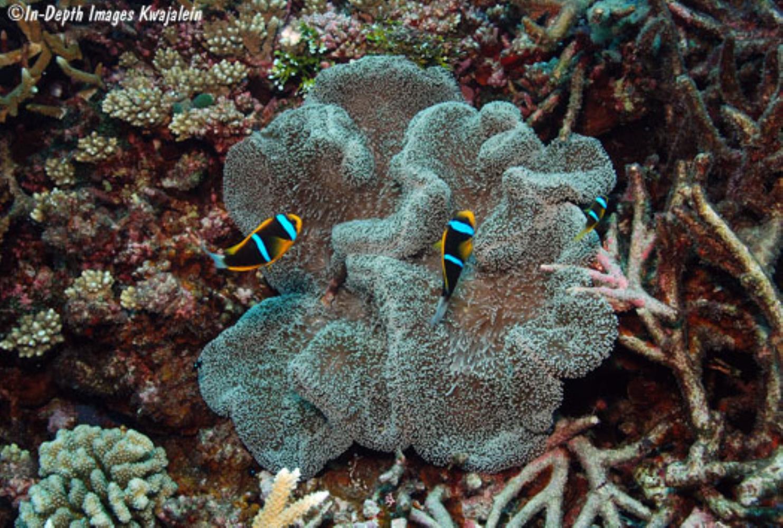 Mertens' Sea Anemone