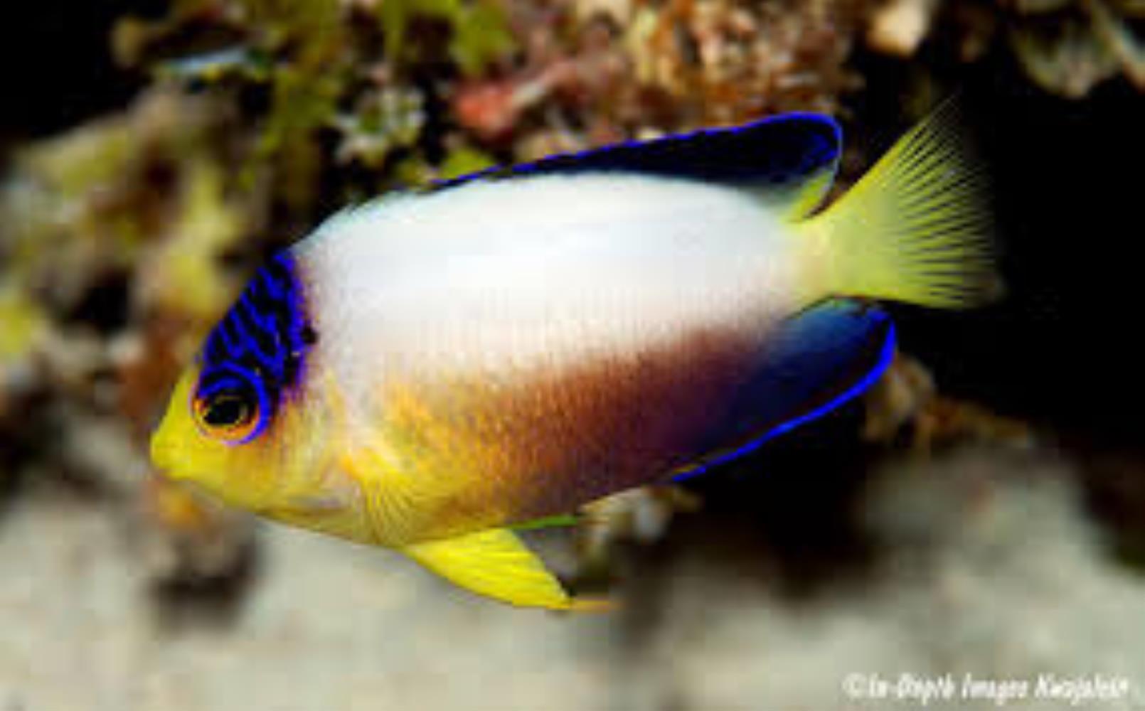 Multicolor Angelfish
