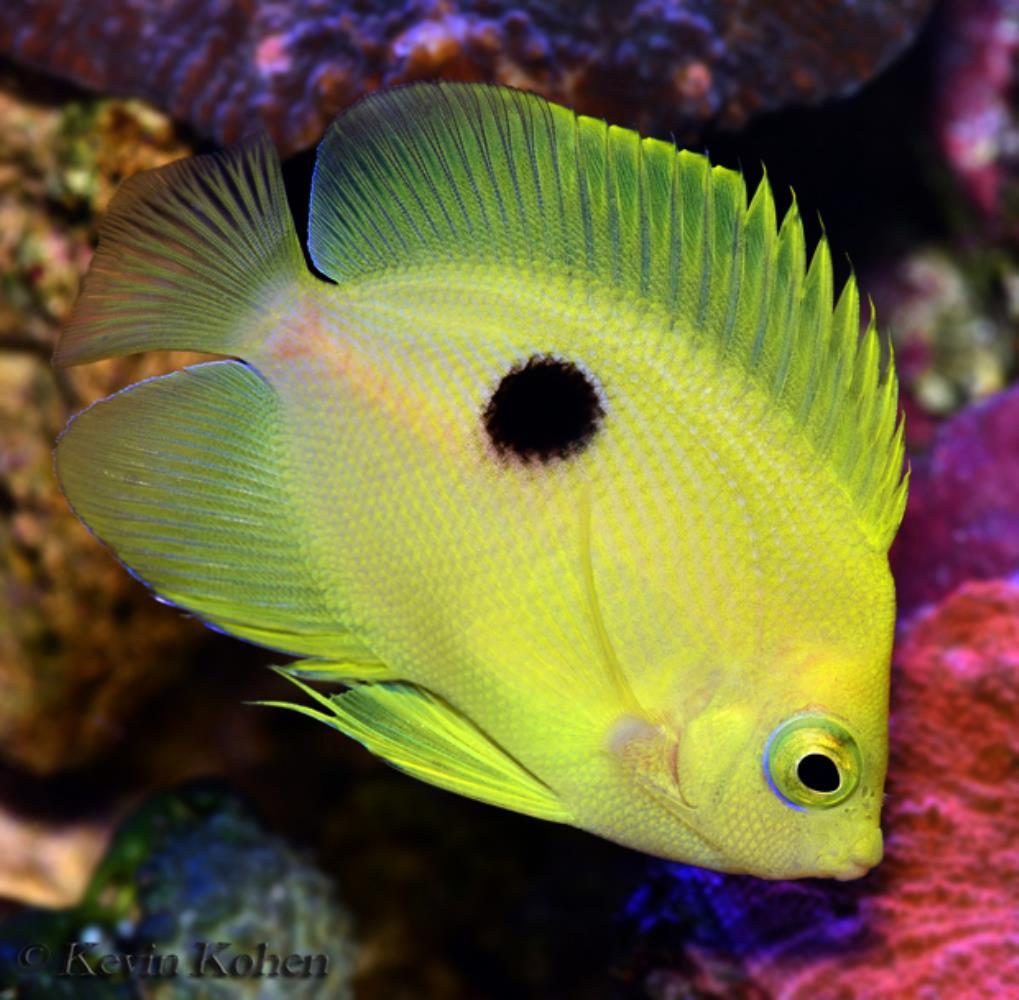 Narc Angelfish