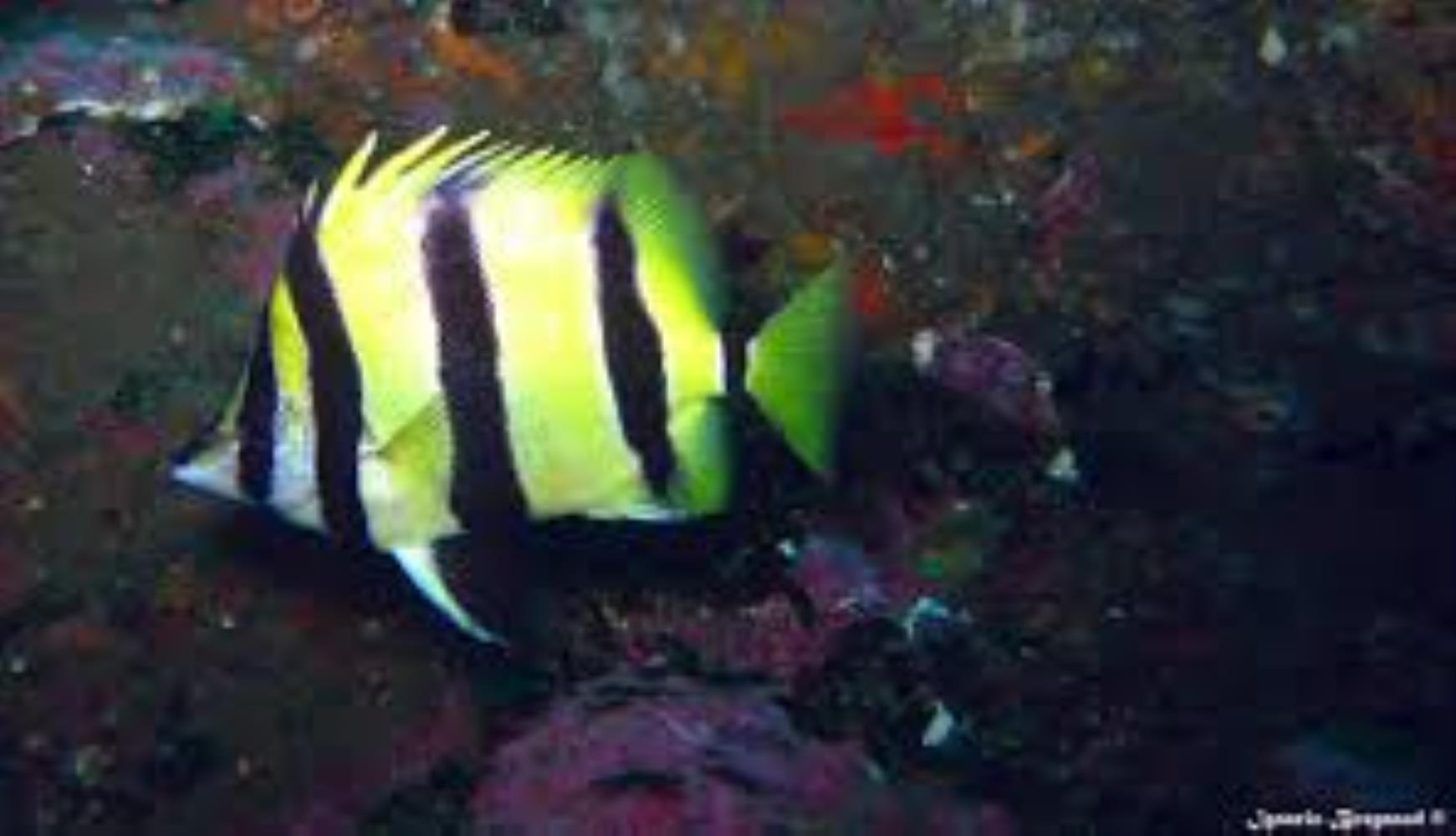 Narrow-barred Butterflyfish