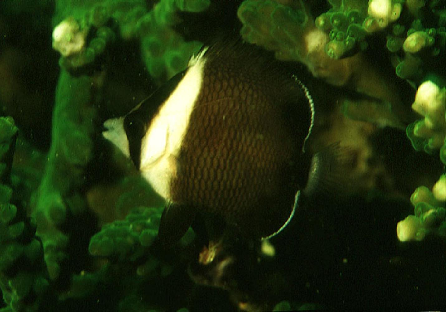 Oman Butterflyfish