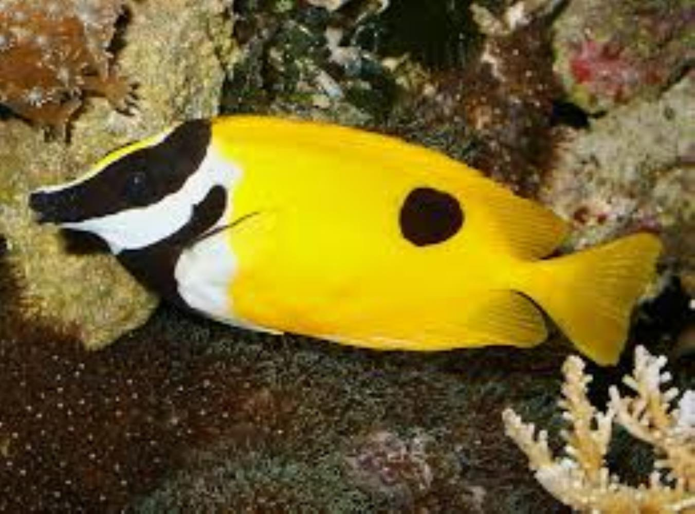 Onespot Rabbitfish