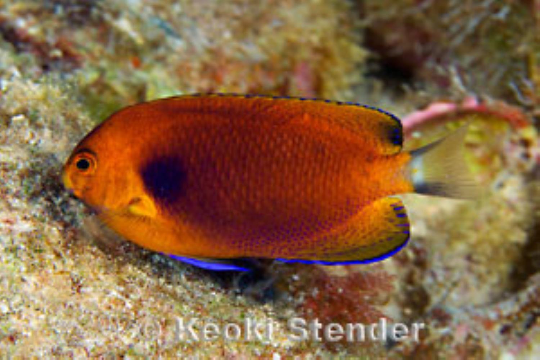 Orange Angelfish