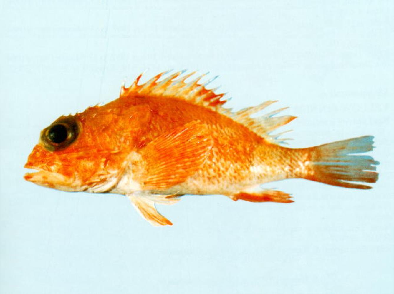 Orange Scorpionfish