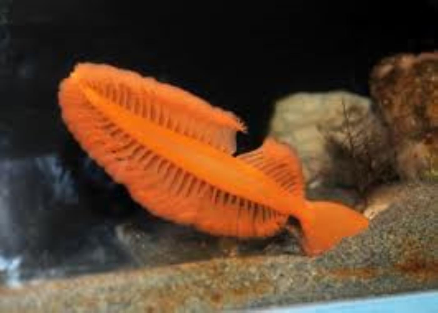 Orange Sea Pen