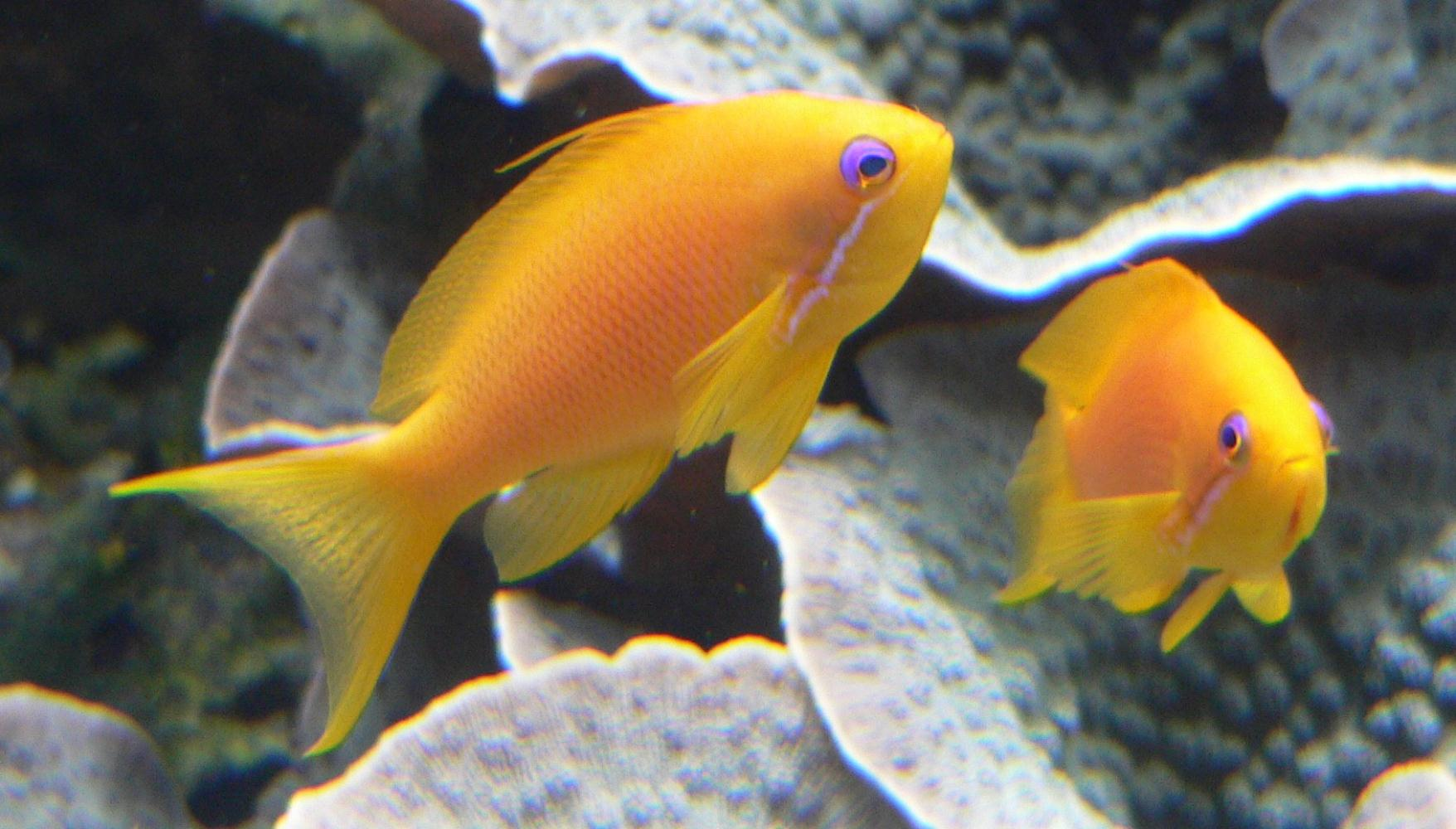Orange Sea Perch