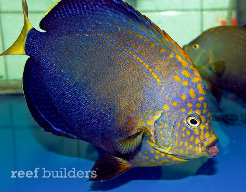 Orangeface Angelfish