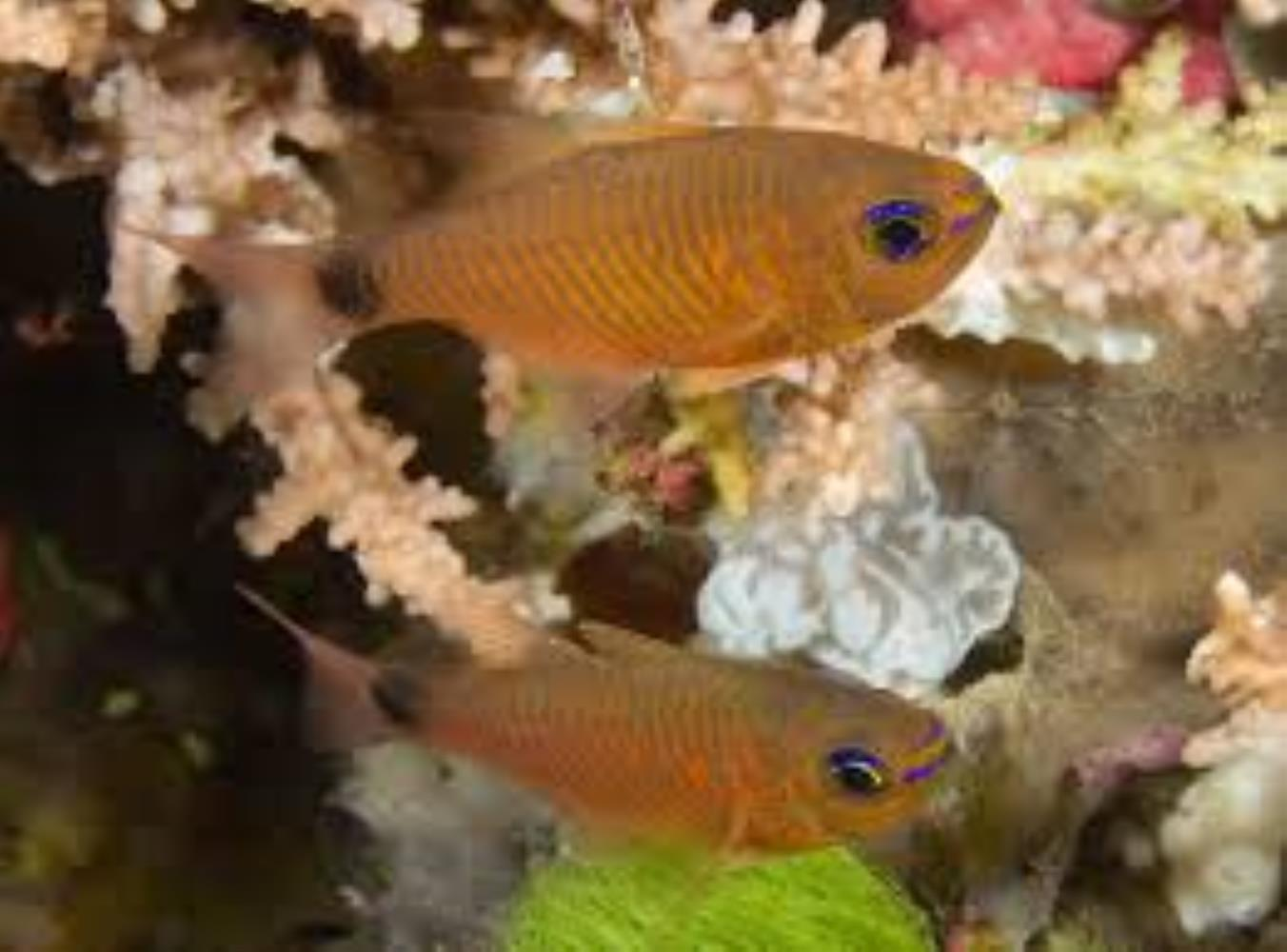 Orangelined Cardinalfish