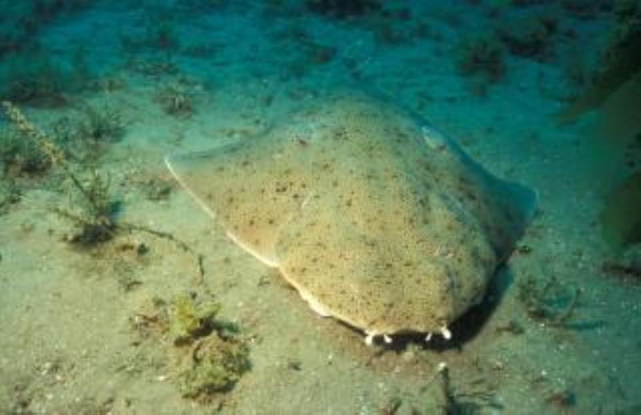 Pacific Angel Shark