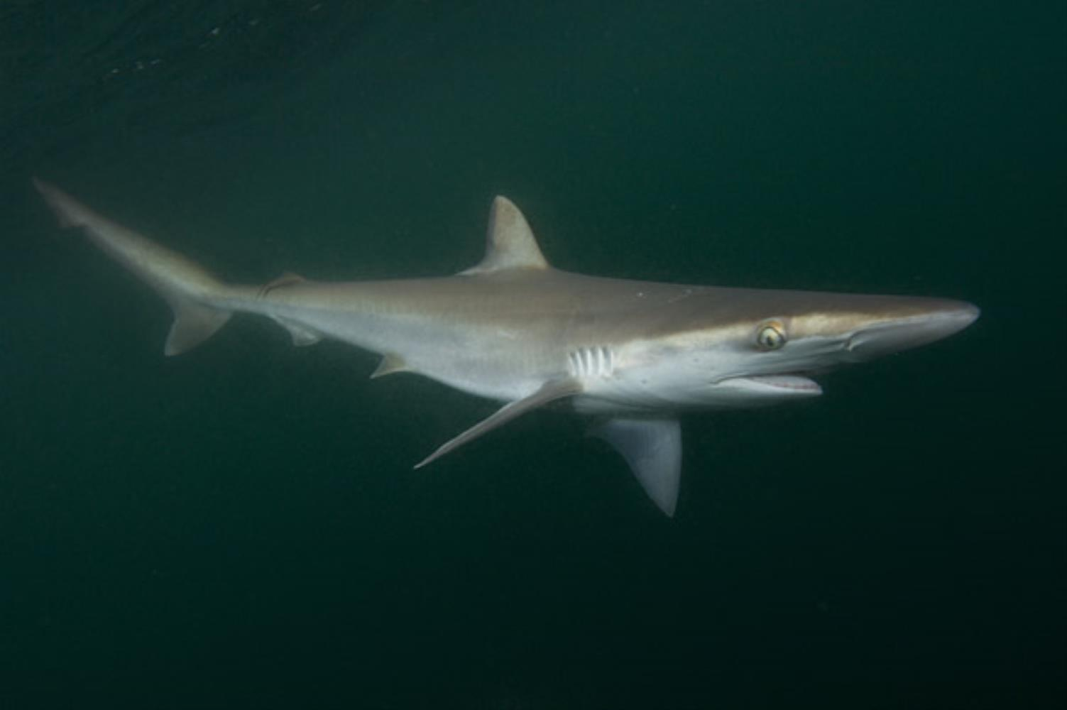 Pacific Sharpnose Shark
