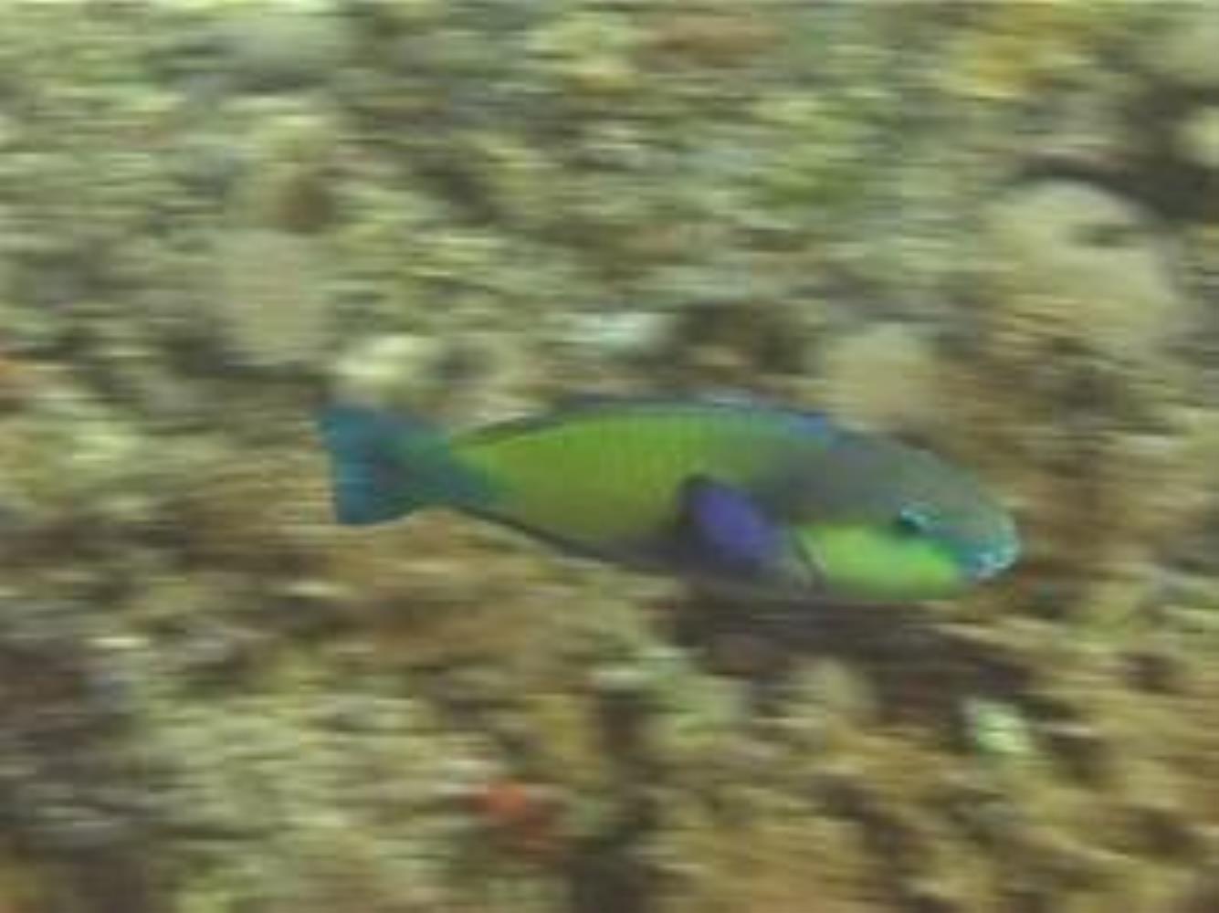 Palecheek Parrotfish