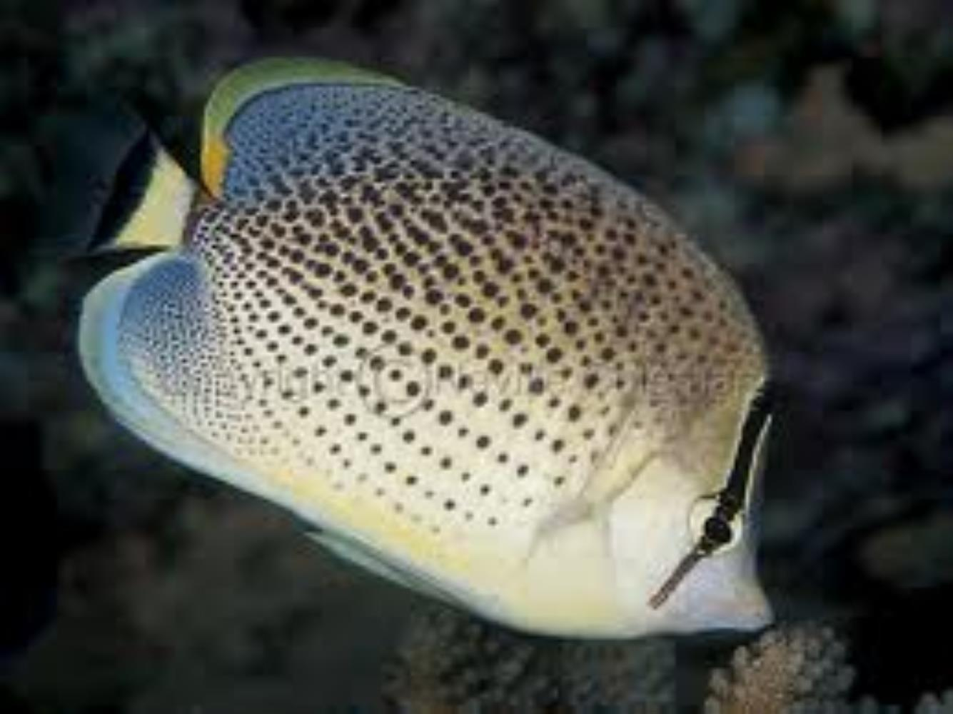 Peppered Butterflyfish