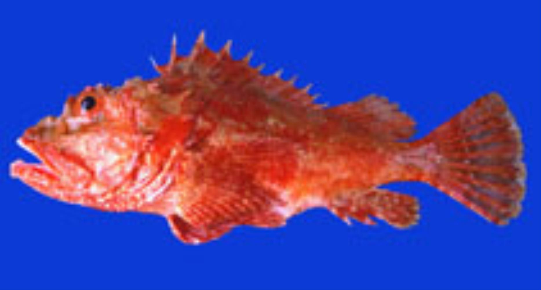 Peruvian Scorpionfish