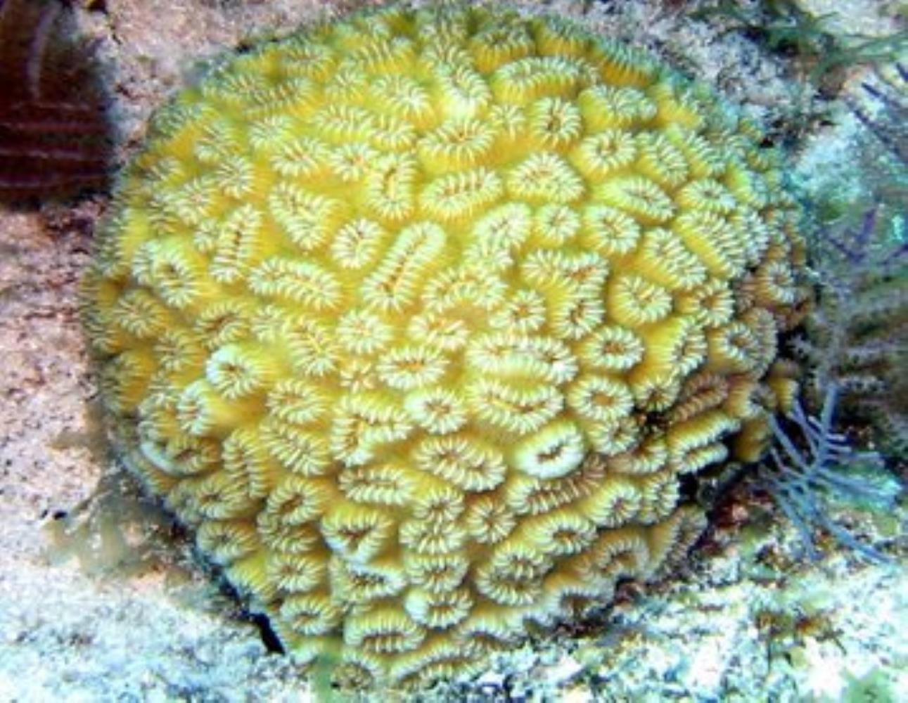 Pineapple Coral