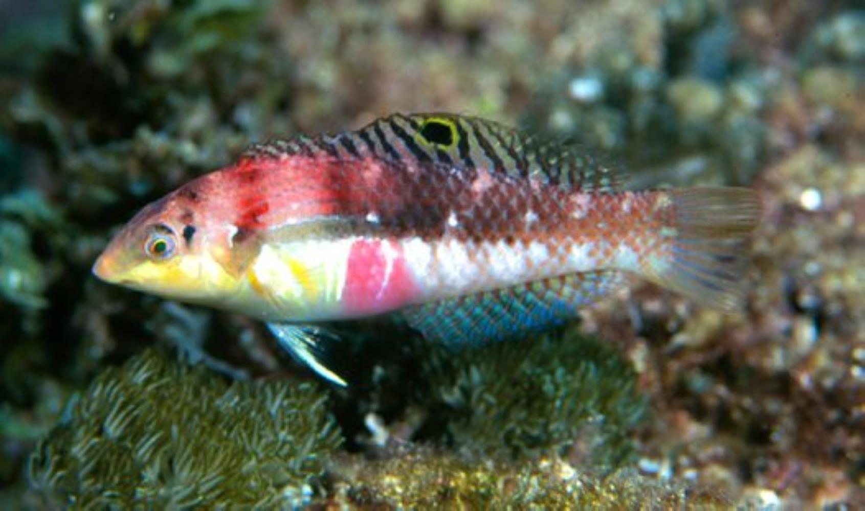Pink-belly Wrasse