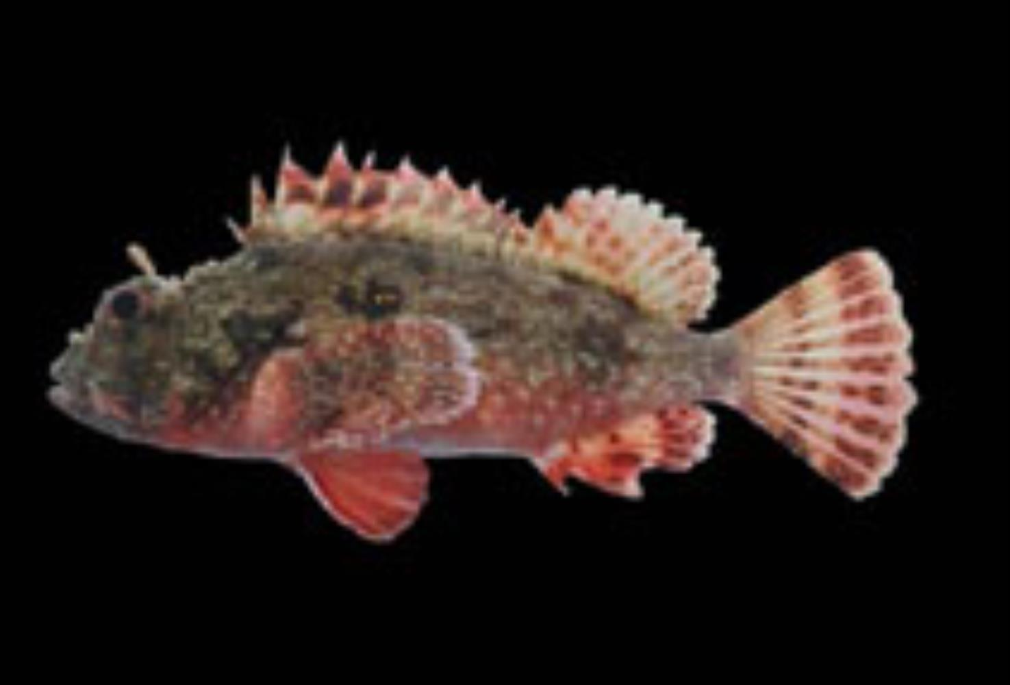 Player Scorpionfish