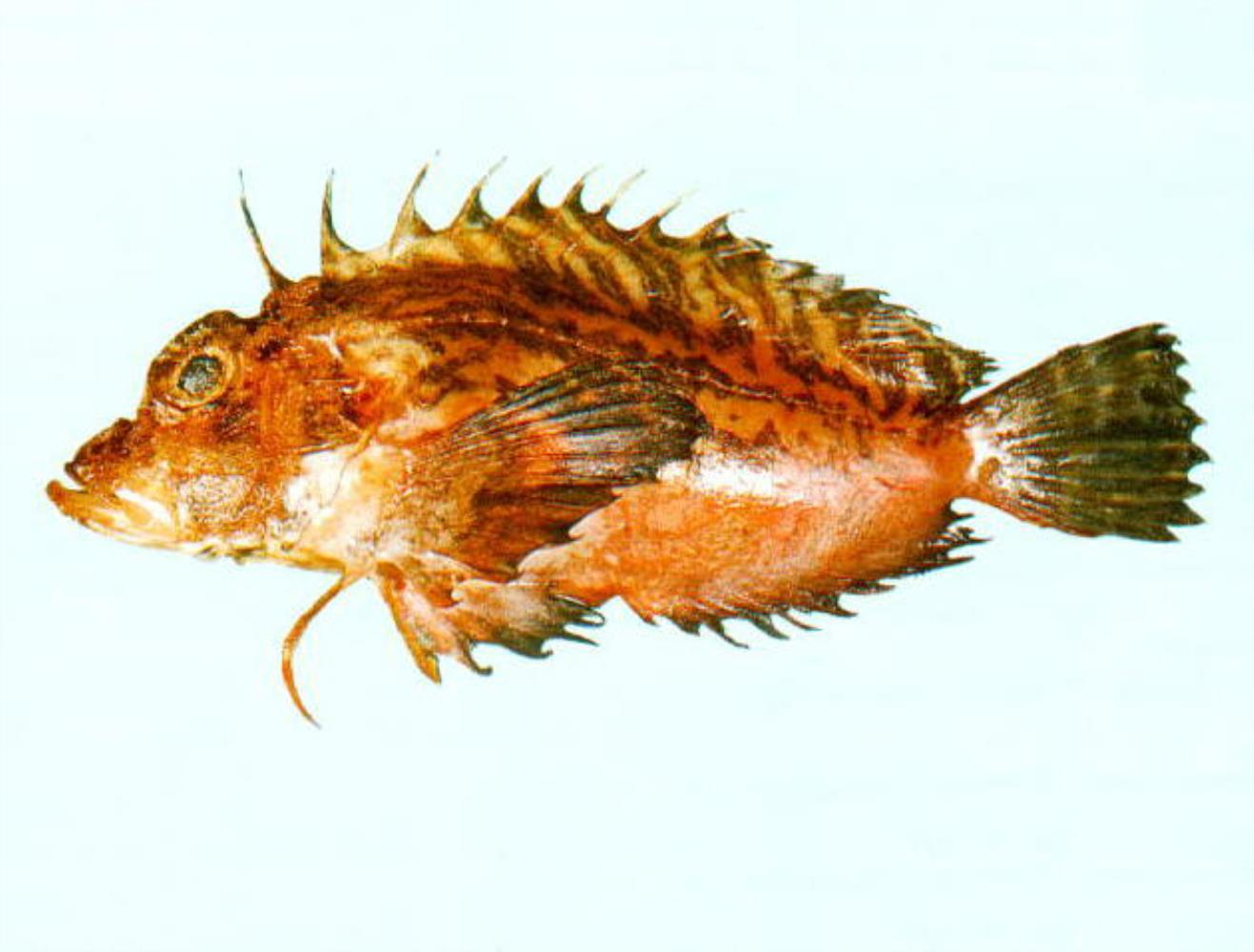 Plumstriped Stingfish