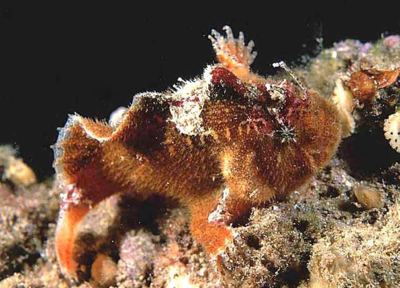Prickly Frogfish