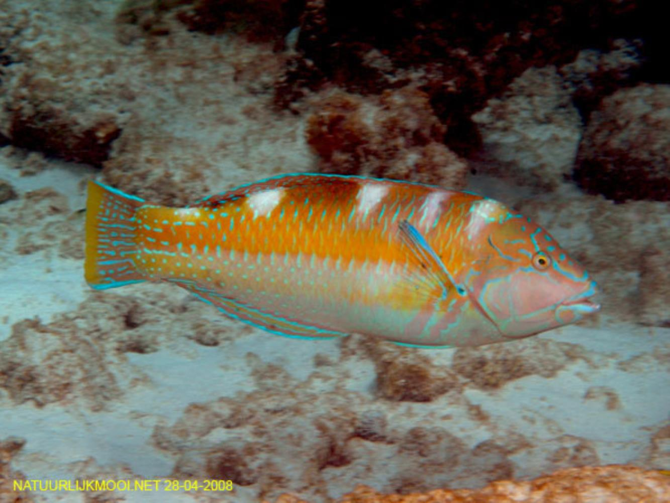 Puddingwife Wrasse