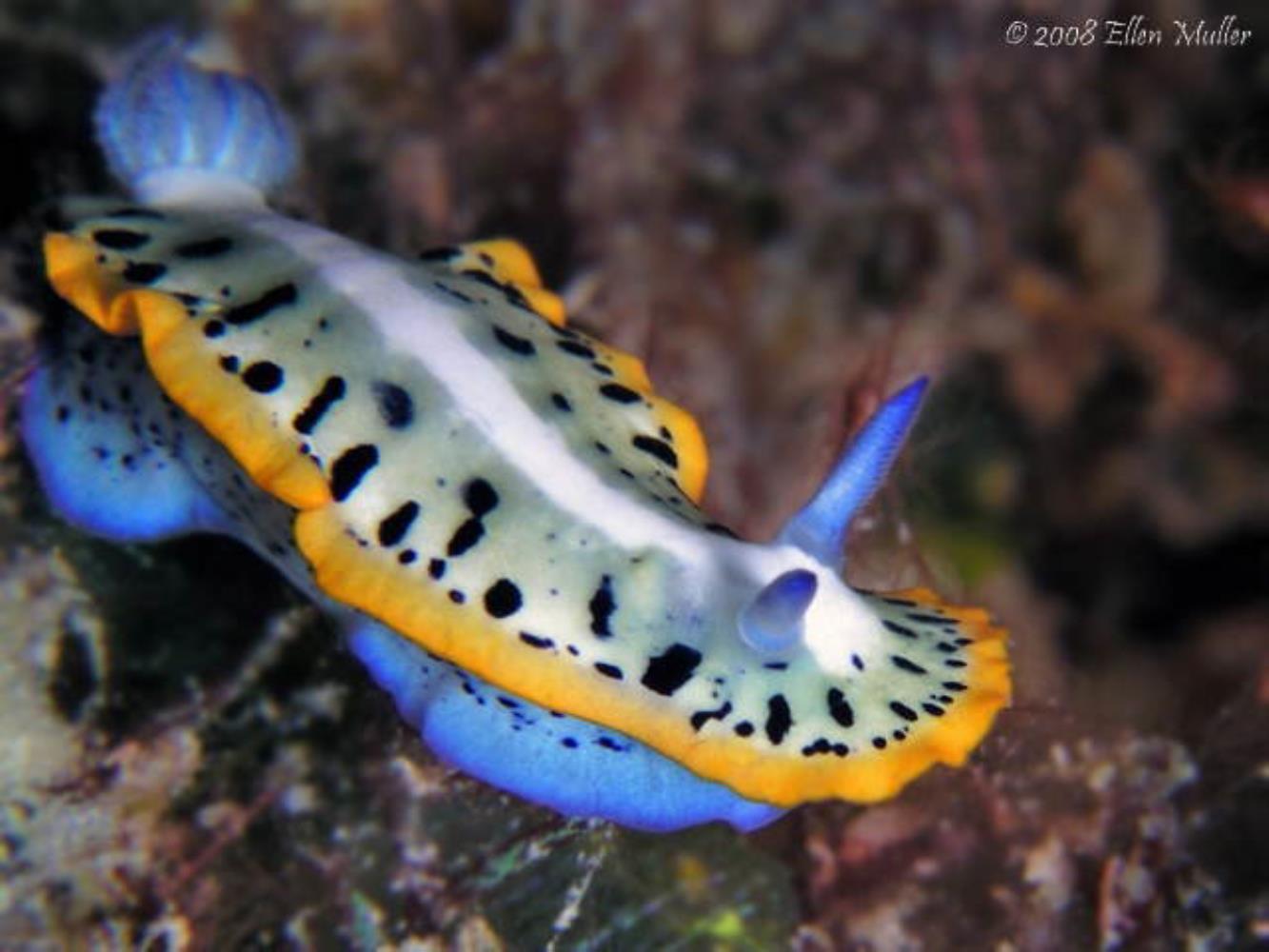 Purple-crowned Sea Goddess