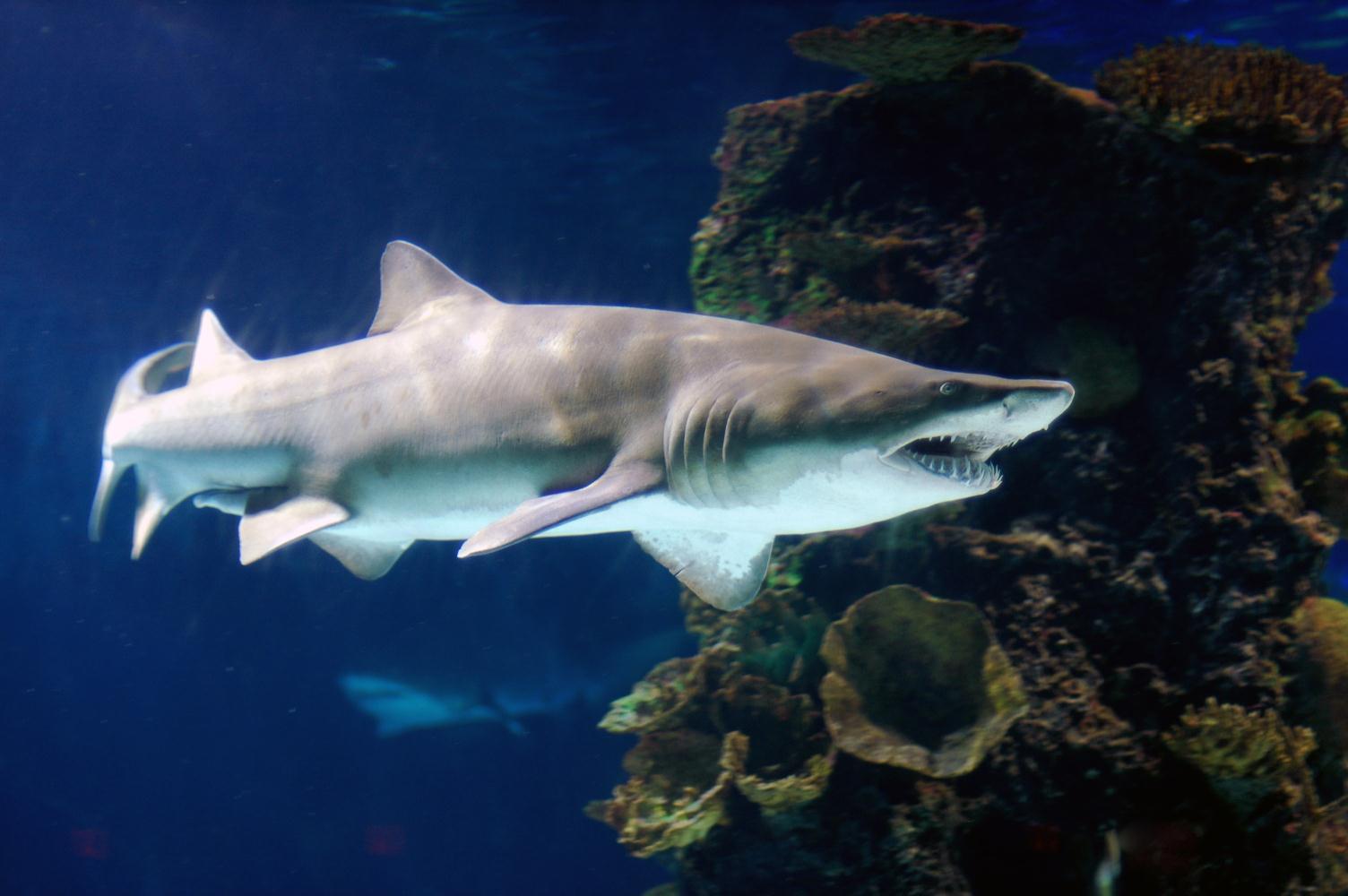 Ragged-tooth shark