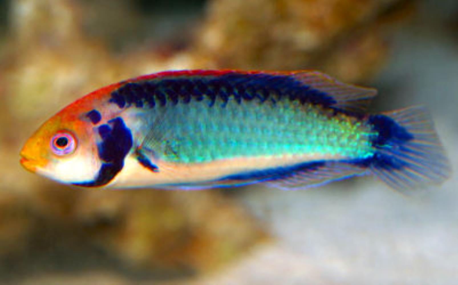 Red-eye Wrasse