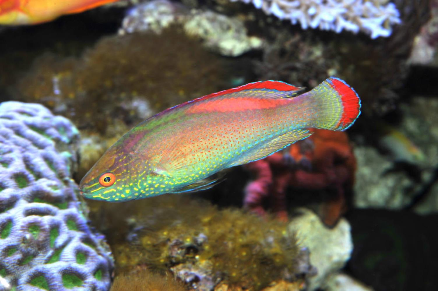 Red-margined Wrasse