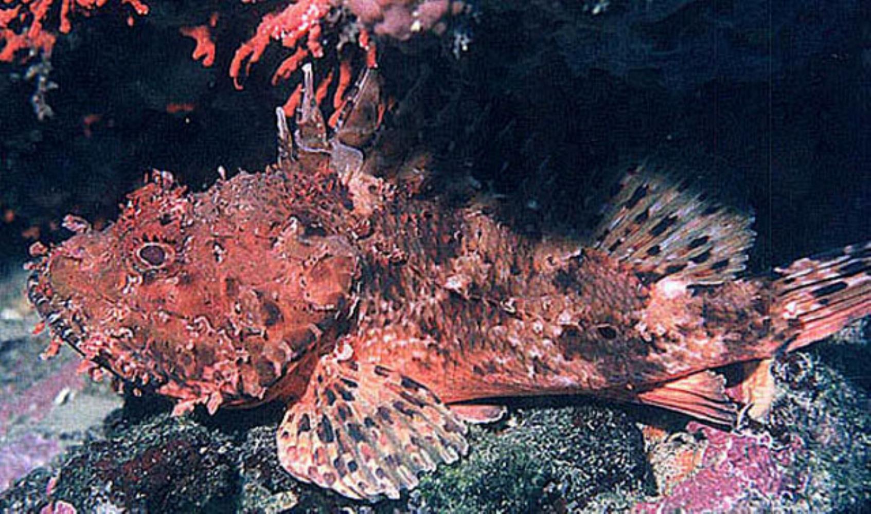 Red Scorpionfish