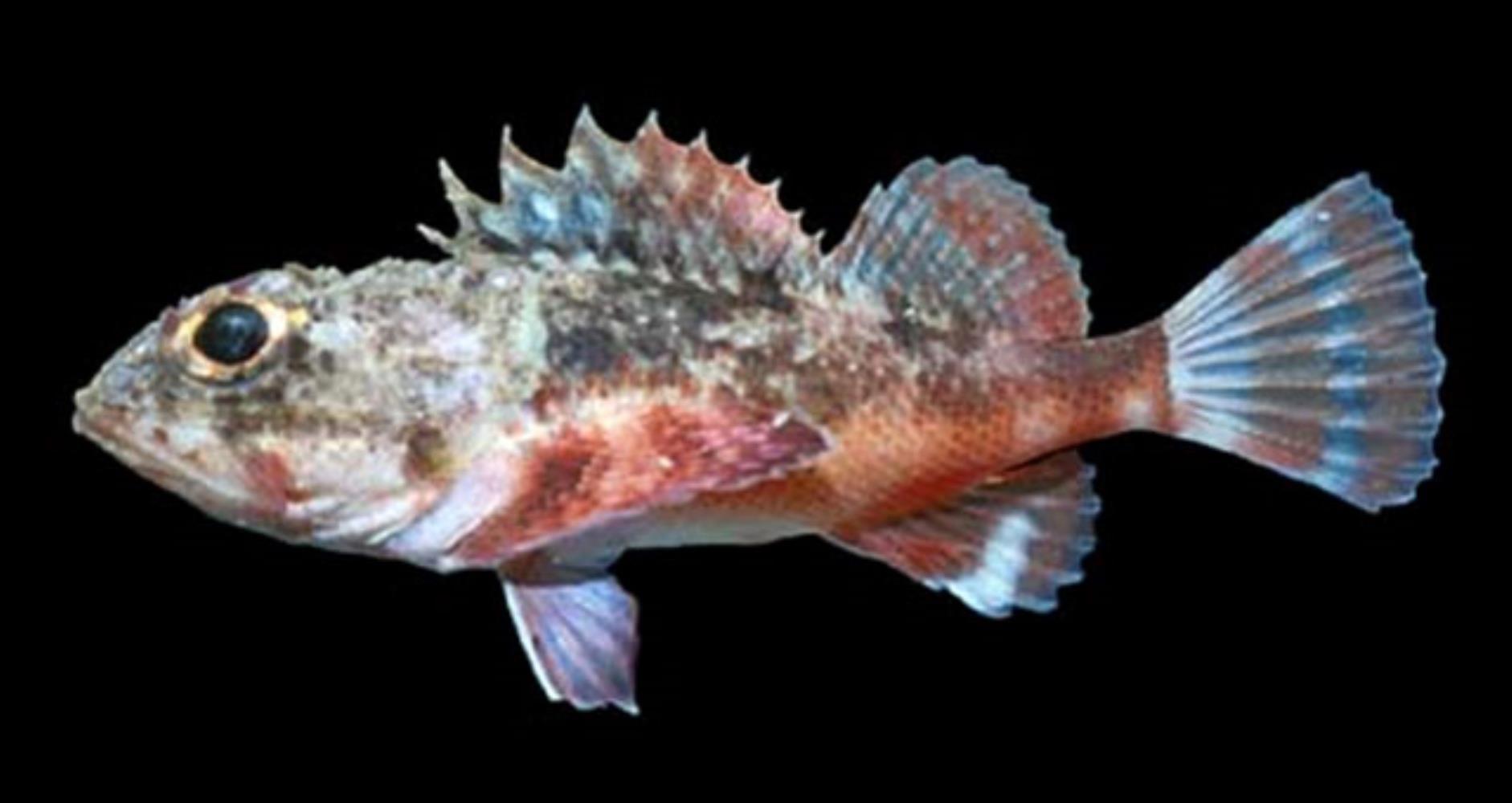 Reddish Scorpionfish