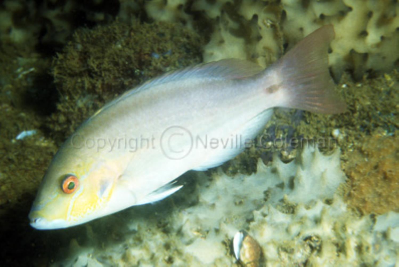 Redstripe Tuskfish