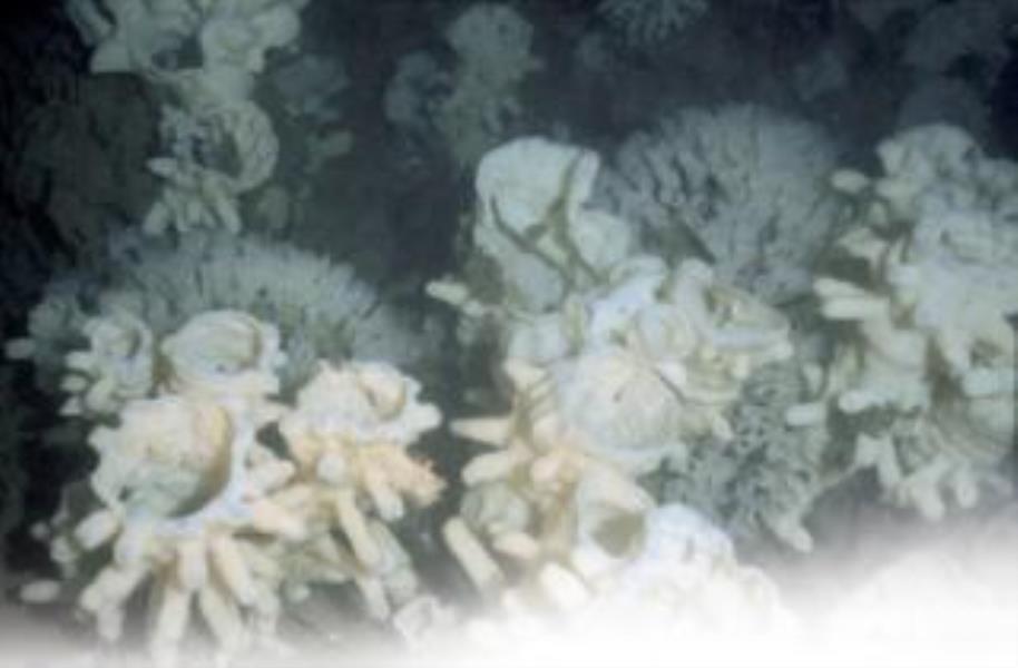 Reef-forming Sponge