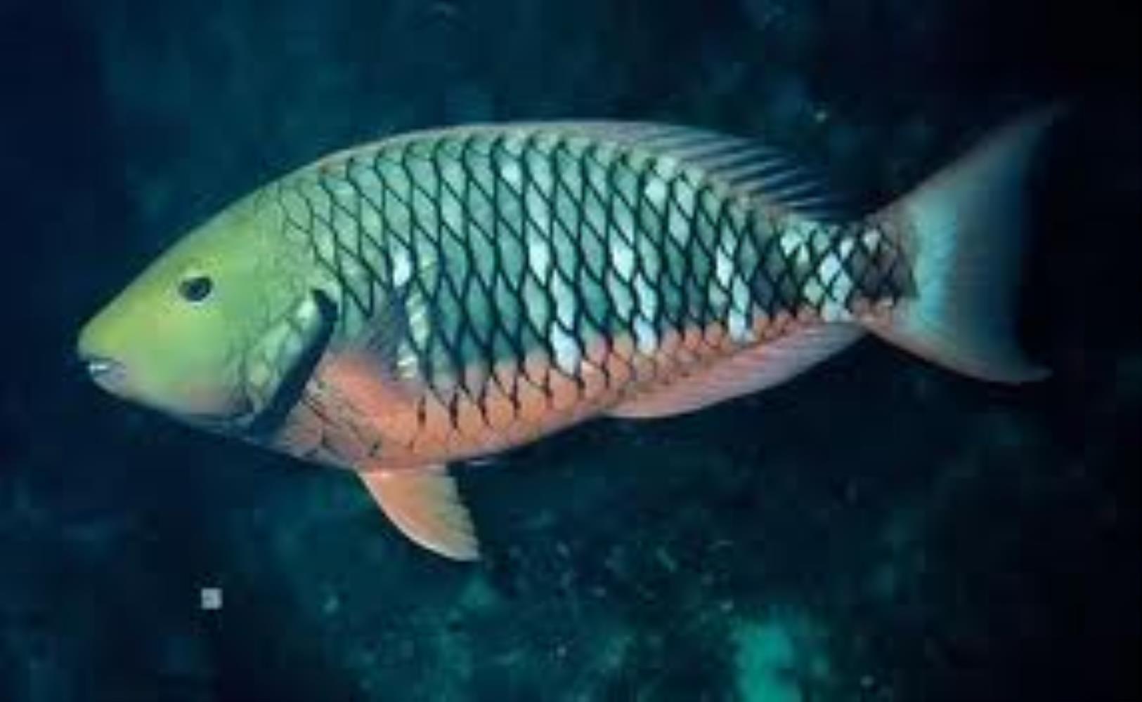 Reef Parrotfish