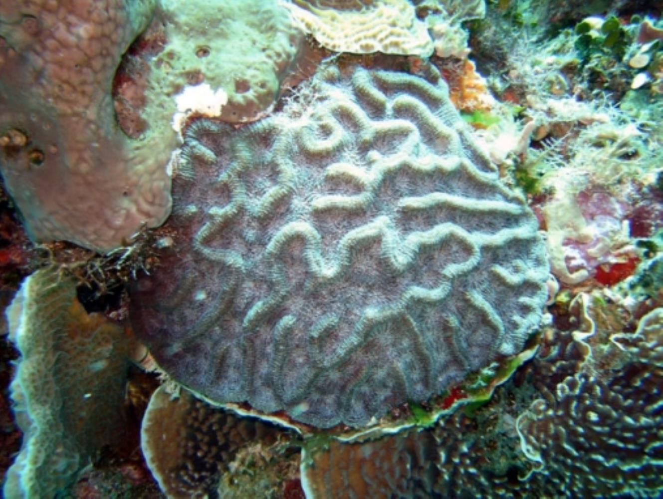 Ridge Cactus Coral