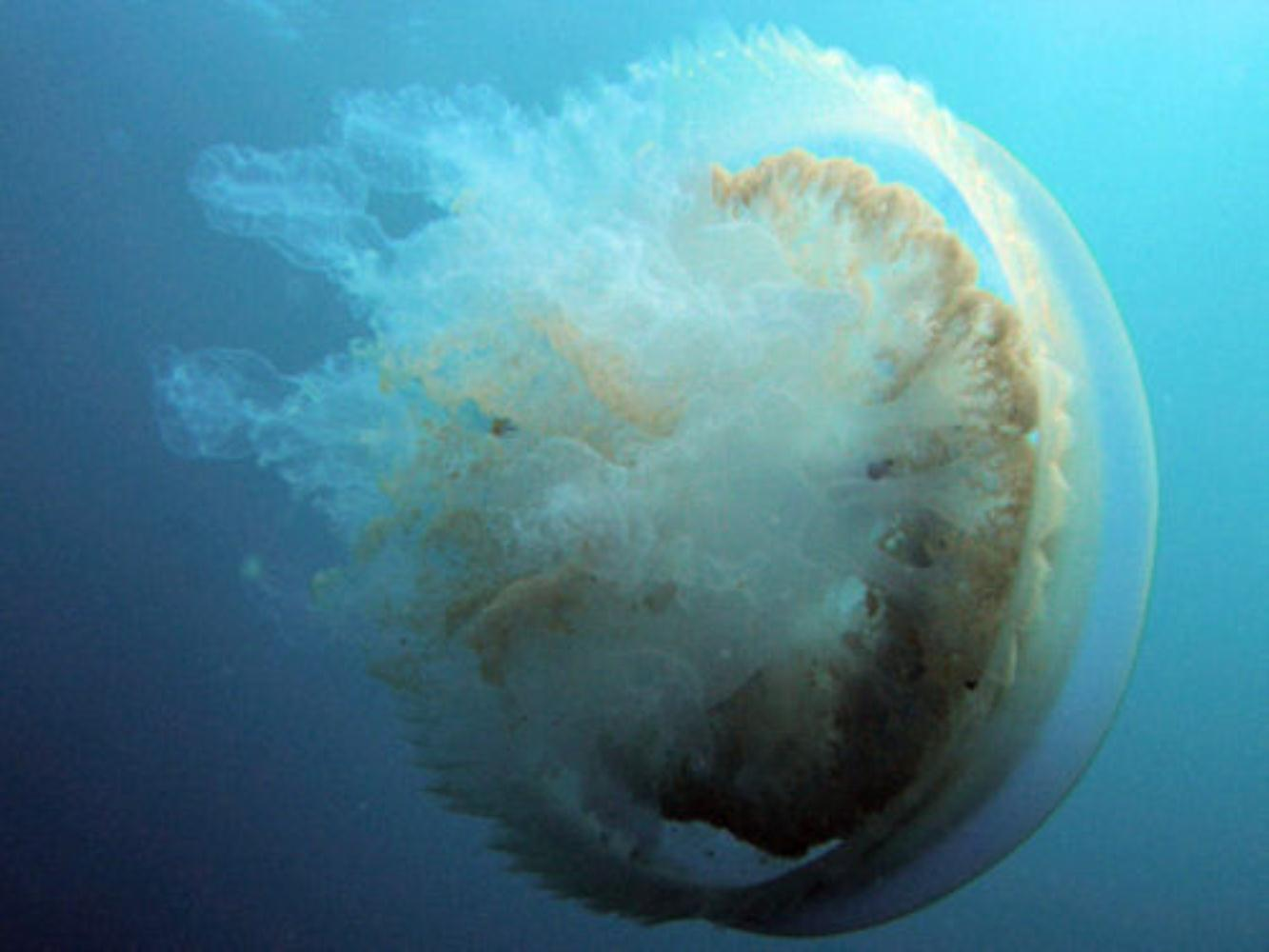 Root-mouthed jellyfish